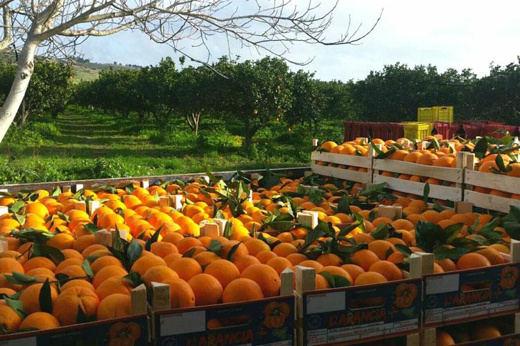 Chimera - Raccolta delle arance
